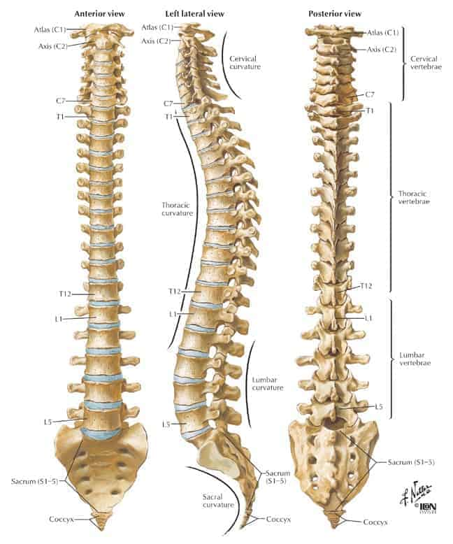 Anatomy Of Lower Back (Lumbar Spine) Pain - Spinomax